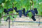 Vineyards 8