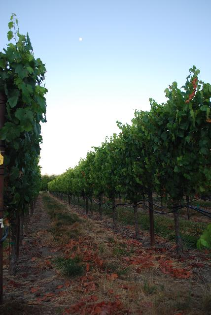 Vineyards 7